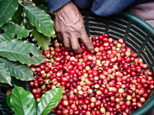 Coffee Cherries after being harvested