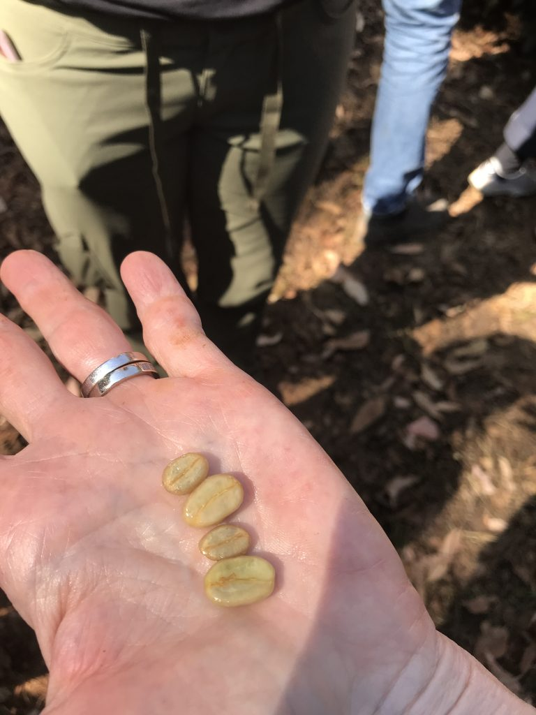 Close-up of Managing Partner Steve Mangigian's hand, holding in his palm two different coffee beans: one regular varietal and one Pacamara varietal, which is nearly twice as large.