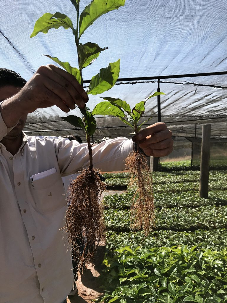 Farmer holding up, for comparison, two coffee plant seedlings in the nursery.